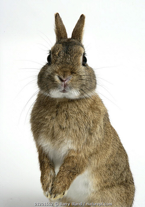 Dwarf domestic rabbit standing up on hind legs., CUTE,CUTOUT,EXPRESSIONS,FACES,MAMMALS,PETS,POUCHES,RABBITS,VERTICAL,Lagomorphs, Barry Bland