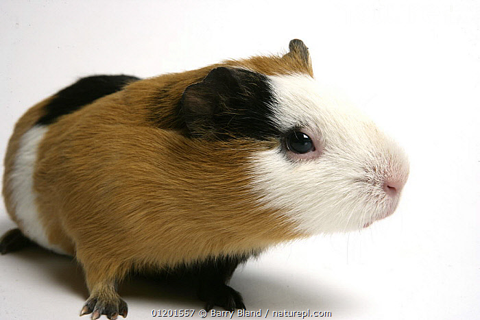 Domestic Guinea Pig, black and tan and white, CAVIES,CUTOUT,MAMMALS,PETS,PORTRAITS,RODENTS,VERTEBRATES,WEST-AFRICA,Africa, Barry Bland