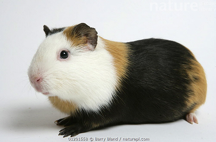 Domestic Guinea Pig, black and tan and white, CAVIES,CUTOUT,MAMMALS,PETS,PORTRAITS,RODENTS,WEST-AFRICA,Africa, Barry Bland