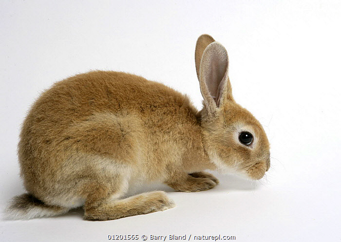 Rex domestic rabbit., CUTE,CUTOUT,MAMMALS,PETS,PROFILE,RABBITS,VERTEBRATES,Lagomorphs, Barry Bland