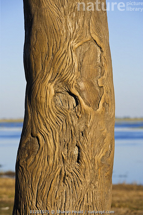 Tree trunk on which elephants have rubbed the bark smooth, Chobe National Park, Botswana May 2008., AFRICA,BARK,BEHAVIOUR,CLOSE UPS,ELEPHANTS,LAKES,LOXODONTA,NP,RESERVE,RUBBING POST,SOUTHERN AFRICA,TRACKS,TREES,VERTICAL,Plants,National Park, Sharon Heald