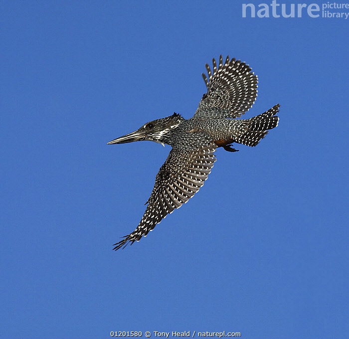 Giant Kingfisher [Megaceryle maxima] female in flight, Chobe National Park, Botswana May 2008, BIRDS, Botswana, CUTOUT, FLYING, KINGFISHERS, NP, RESERVE, SOUTHERN-AFRICA, VERTEBRATES,National Park, Tony Heald