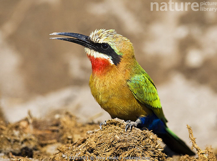 Whitefronted Bee-eater (Merops bullockoides) on elephant dung, Chobe National Park, Botswana May 2008, BEE EATERS,BIRDS,BOTSWANA,FAECES,NP,PORTRAITS,PROFILE,RESERVE,SOUTHERN AFRICA,VERTEBRATES,National Park, Tony Heald