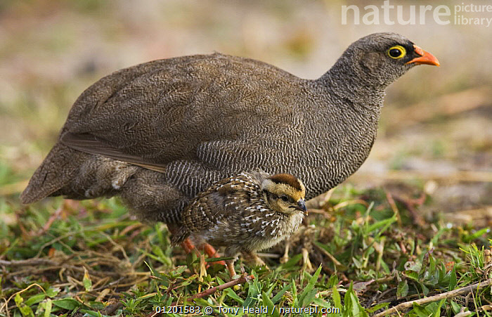 Red-billed francolin (Pternistis adspersus) with chick, Chobe National Park, Botswana May 2008, BABIES, BIRDS, Botswana, GALLIFORMES, GAME-BIRDS, MOTHER-BABY, NP, PARTRIDGE, PORTRAITS, PROFILE, RESERVE, SOUTHERN-AFRICA, VERTEBRATES, VERTICAL,National Park, Tony Heald