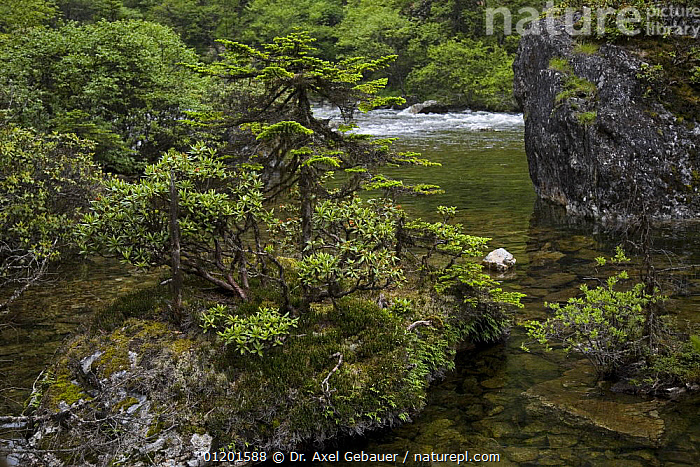 Nature Picture Library River With Fir Trees Abies Delavayi And