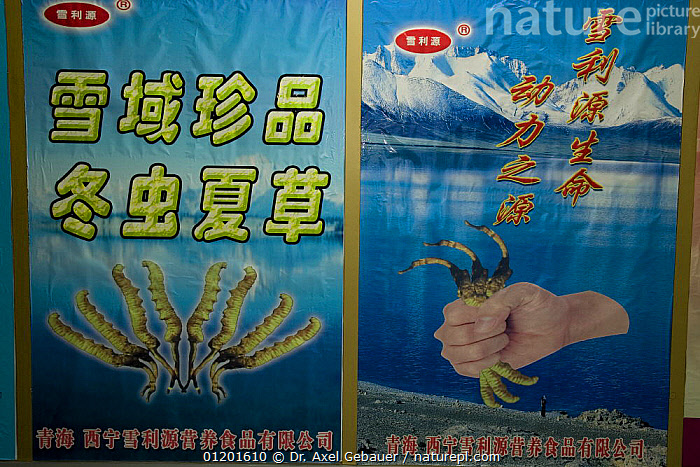 Signs advertising Caterpillar fungus (Cordyceps sinensis) for sale in airport shop, Xining, Qinghai Province, China, ASIA, CHINA, CROPS, FUNGI, INTERESTING, medicine, MOULD, SIGNS, Tibetan Plateau, TRADE, Dr. Axel Gebauer