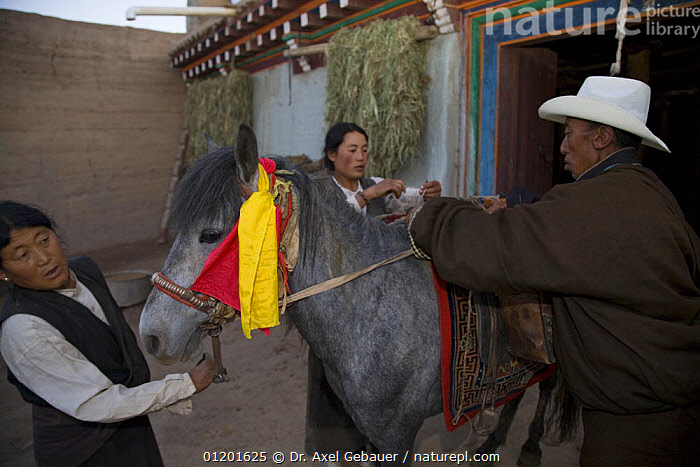 People preparing horse for ride to holy mountain, Dargye, Sichuan, Tibet, China, ASIA,CEREMONIAL ,CEREMONY,CULTURES,DECORATION,HOLY,HORSES,KHAM,PEOPLE,TRADITIONAL,WORSHIP,CHINA, Dr. Axel Gebauer