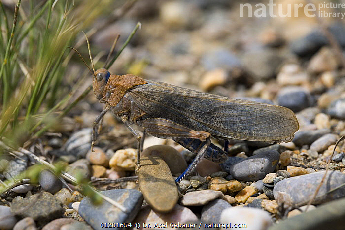 Locust (Phymateus sp) on pebbles beside Koko Nor lake, Tso Ngonbo, Qinghai Hu, Qinghai Province, Tibet, China, AMDO,ASIA,CAMOUFLAGE,CHINA,GRASSHOPPERS,INSECTS,INVERTEBRATES,ORTHOPTERA,PROFILE,TIBET, Dr. Axel Gebauer