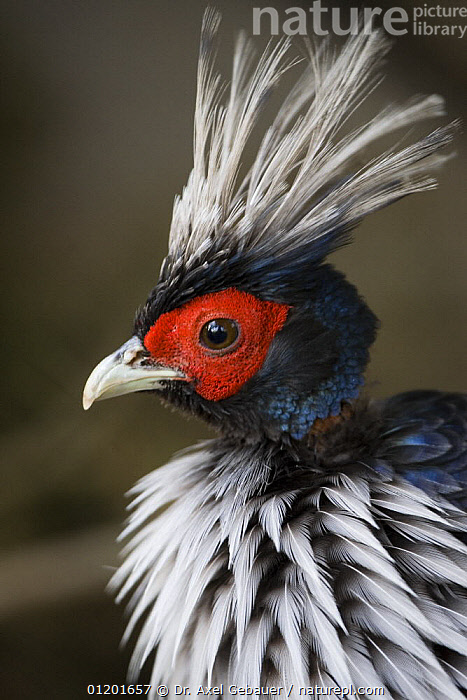 Kalij pheasant (Lophura leucomelanos) male, Tibet, China, ASIA,BIRDS,CHINA,CRESTED,CRESTS,FEATHERS,GALLIFORMES,GAME BIRDS,MALES,PHEASANTS,PORTRAITS,PROFILE,TIBET,VERTEBRATES,VERTICAL, Dr. Axel Gebauer