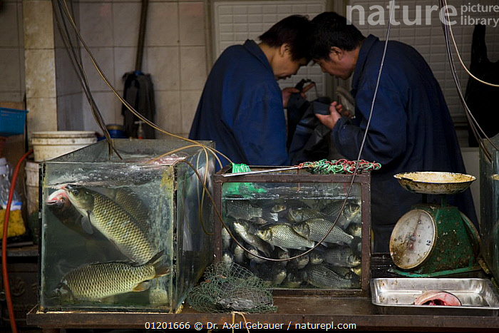 Fish dealers in Ximen market, Xining, capital Qinghai Province, Tibet, China, ASIA,CHINA,MARKETS,PEOPLE,TIBET,TRADE, Dr. Axel Gebauer