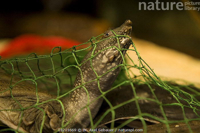 Tortoise in a dealers net, Ximen market, Xining, capital Qinghai Province, China, ASIA,CHINA,CRUELTY,MARKETS,NETS,PORTRAITS,SAD,TIBET,TRADE,TRAPPED,WILDLIFE,Concepts, Dr. Axel Gebauer