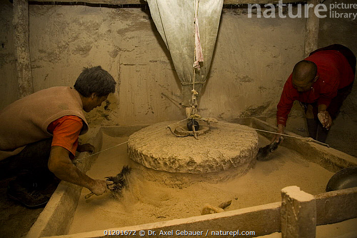 Two men grinding  barley with traditional mill stone at watermill, Dargye, Sichuan Province, Tibet, China, ASIA,BARLEY,CROPS,INDOORS,KHAM,PEOPLE,TIBET,TRADITIONAL,WORKING,CHINA, Dr. Axel Gebauer