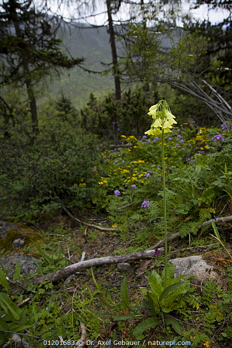 Primrose (Primula sikkimensis), Mugetso-Lake area, Sichuan Province, Tibet, China, ASIA,CHINA,DICOTYLEDONS,FLOWERS,PLANTS,PRIMULACEAE,TIBET,VERTICAL,WOODLANDS, Dr. Axel Gebauer