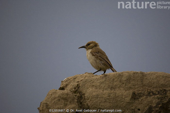 Humes / Tibetan ground jay (Pseudopodoces humilis) juvenile on rock, Tibet, China, ASIA,BIRDS,CHINA,CUTOUT,JAYS,PORTRAITS,PROFILE,TIBET,TITS,VERTEBRATES,VERTICAL,Corvids, Dr. Axel Gebauer