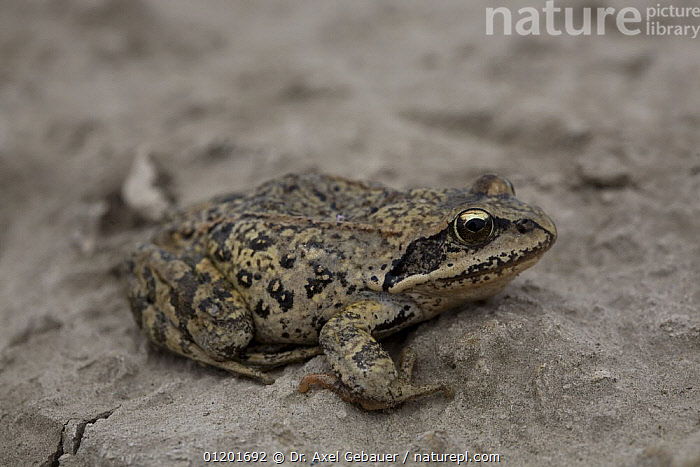 Chinese brown frog / Asiatic grass frog (Rana chensinensis) on hard ground. Koko Nor lake, Tso Ngonbo, Qinghai lake, Qinghai, Tibet, Amdo, China, AMPHIBIANS,ANURA,ASIA,ASIATIC GRASS FROG,CHINA,FROGS,PORTRAITS,TIBET,VERTEBRATES, Dr. Axel Gebauer