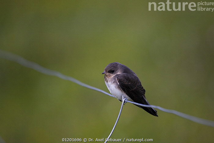 Tibet Sand martin (Riparia diluta tibetana) on wire fence. Qinghai Nanshan, 3,500m above sea level, Koko Nor lake, Tso Ngonbo, Qinghai Hu, Qinghai Province, Tibet, Amdo, China, altitude, ASIA, BIRDS, CHINA, CUTOUT, PORTRAITS, SWALLOWS, Tibet, Tibetan Plateau, VERTEBRATES, Dr. Axel Gebauer