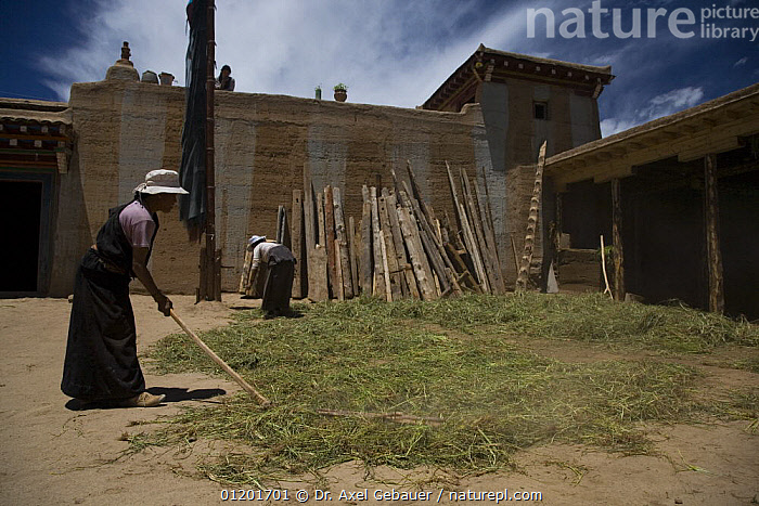 Woman in traditional dress threshing with flail, Dargye, Sichuan, Tibet, Kham, china, ASIA,BUILDINGS,CHINA,PEOPLE,TIBET,WORKING, Dr. Axel Gebauer