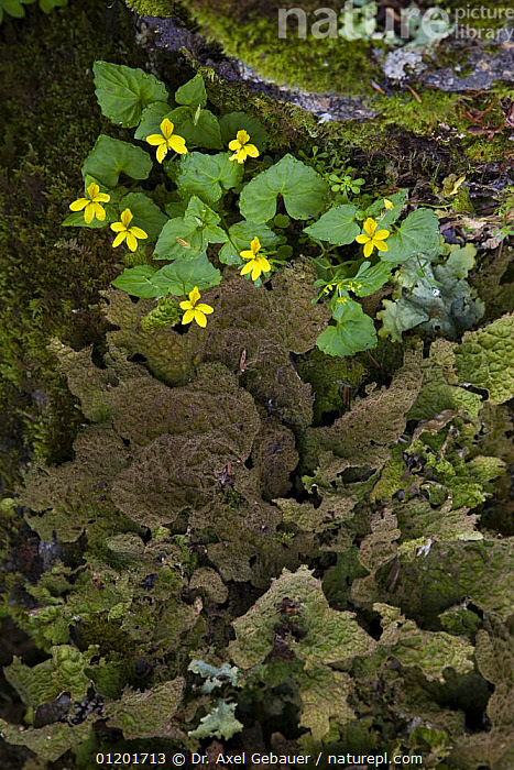 Yellow wood violet (Viola biflora), mosses and liverwort, Mugetso lake area, Sichuan Province, Tibet, China, ASIA,CHINA,DICOTYLEDONS,FLOWERS,LIVERWORT,MOSS,PLANTS,TIBET,VERTICAL,VIOLACEAE, Dr. Axel Gebauer