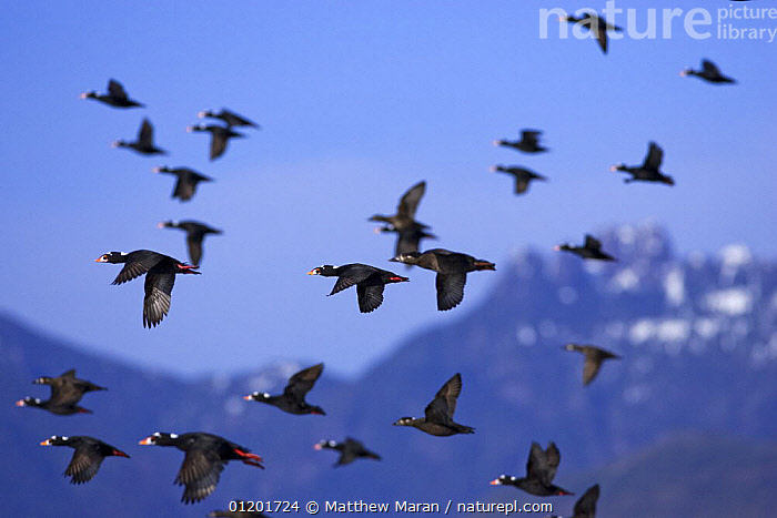 Flock of Surf Scoter ducks {Melanitta perspicillata} in flight, Barkley Sound, Vancouver Island, BC, Canada, BIRDS,CANADA,DUCKS,FLOCKS,FLYING,GROUPS,MOUNTAINS,PACIFIC,VERTEBRATES,WATERFOWL,North America,Wildfowl, Matthew Maran