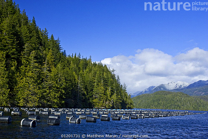Oyster Farm in Clayoquot Sound, Vanouver Island, BC, Canada, CANADA,COASTAL WATERS,COASTS,COMMERCIAL,LANDSCAPES,OYSTERS,North America, Matthew Maran
