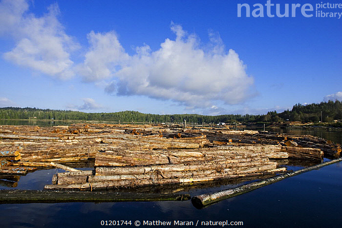 Sorting logs of Red cedar {Thuja plicata} from those of Yellow cedar {Chamaecyparis nootkatensis} before transfering them directly onto a barge for transportation, Barkley Sound, Vancouver Island, BC, Canada, CANADA,COASTS,COMMERCIAL,DEFORESTATION,FORESTRY,LANDSCAPES,PACIFIC,TIMBER,North America, Matthew Maran