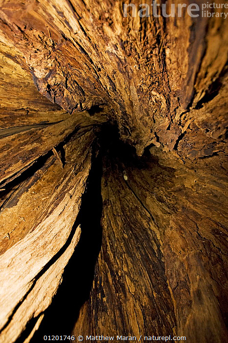 Looking up inside the trunk of a Western Red Cedar {Thuja plicata} These trees die from the inside out leaving huge hollows big enough for a person to walk in. The Big Tree Trail, Meares Island, Clayoquot Sound, Vancouver Island, BC, Canada  ,  ARTY,CANADA,CONIFERS,CUPRESSACEAE,GYMNOSPERMS,PLANTS,SPIRAL,TREES,TRUNKS,VERTICAL,North America  ,  Matthew Maran