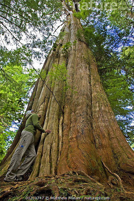 Person standing beside the trunk of a Western Red Cedar {Thuja plicata} The Big Tree Trail, Meares Island, Clayoquot Sound, Vancouver Island, BC, Canada, CANADA,CONIFERS,CUPRESSACEAE,FORESTS,GYMNOSPERMS,LOW ANGLE SHOT,PEOPLE,PLANTS,SIZE,TALL,TREES,TRUNKS,VERTICAL,WOODLANDS,North America, Matthew Maran
