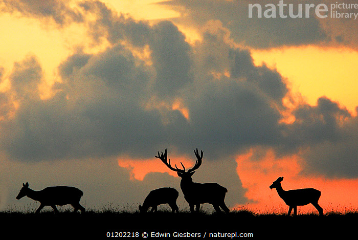 RF- Red Deer (Cervus elaphus) stag and three does silhouette grazing. Dyrehaven, Denmark. (This image may be licensed either as rights managed or royalty free.), ARTIODACTYLA,ATMOSPHERIC,CERVIDS,DEER,DENMARK,EUROPE,FOUR,GROUPS,MAMMALS,SILHOUETTES,VERTEBRATES RF16Q4,CERVUS ELAPHUS,Animal,Vertebrate,Mammal,Deer,Red Deer,Animalia,Animal,Wildlife,Vertebrate,Mammalia,Mammal,Artiodactyla,Even-toed ungulates,Cervidae,Deer,True deer,ruminantia,Ruminant,Cervus,Cervus elaphus,Red Deer,Wapiti,Togetherness,Few,Four,Group,Nobody,Europe,Northern Europe,North Europe,Nordic Countries,Scandinavia,Denmark,Side View,Back Lit,Female animal,Doe,Does,Male Animal,Stag,Stags,Antler,Antlers,Sky,Cloud,Night,Nature,Wild,Feeding,Grazing,Silhouette,Negative space,Four animals,Hind,Hinds,RF,Royalty free,RFCAT1,RF16Q4, Edwin  Giesbers