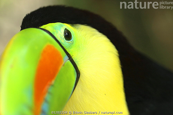 Keel billed Toucan (Ramphastos sulfuratus), Costa Rica  ,  ABSTRACTS,ARTY,BEAKS,BIRDS,CENTRAL AMERICA,COLOURFUL,COSTA RICA,HEADS,PORTRAITS,TOUCANS,TROPICAL RAINFOREST,VERTEBRATES  ,  Edwin Giesbers