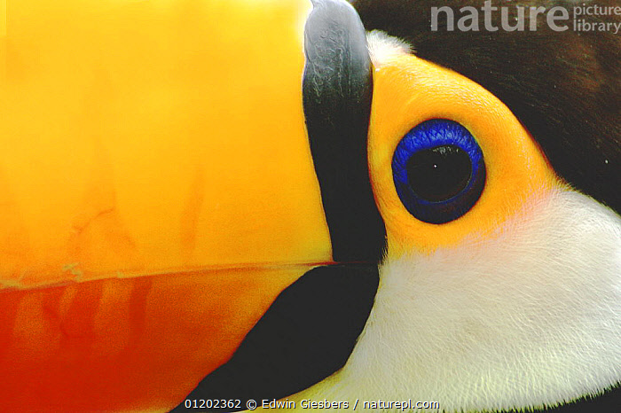Toco toucan (Ramphastos toco), close-up of face, Costa rica  ,  ABSTRACTS,ARTY,BEAKS,BILLS,BIRDS,CENTRAL AMERICA,CLOSE UPS,COLOURFUL,COSTA RICA,CRYPTIC,DETAIL,EYES,FACES,HEADS,TOUCANS,VERTEBRATES,Catalogue1  ,  Edwin Giesbers