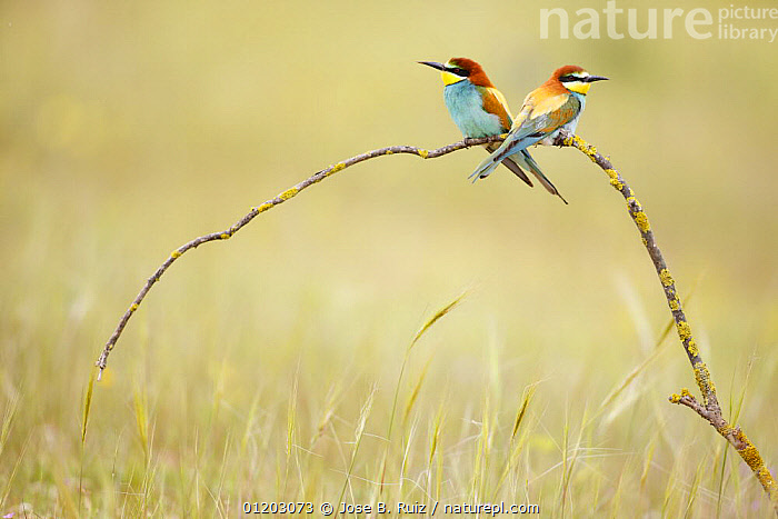 European bee eaters (Merops apiaster) on branch in meadow. Seville, Spain, BEE EATERS,BIRDS,CUTOUT,EUROPE,HABITAT,PORTRAITS,SPAIN,two,VERTEBRATES,Catalogue1, Jose B. Ruiz