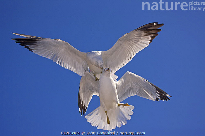 Ring-billed gull (Larus delawarensis) adults fighting in air, NY, USA  ,  AGGRESSION,BIRDS,CUTOUT,FIGHTING,FLYING,GULLS,NORTH AMERICA,SEABIRDS,two,USA,VERTEBRATES,WINGS,Concepts  ,  John Cancalosi