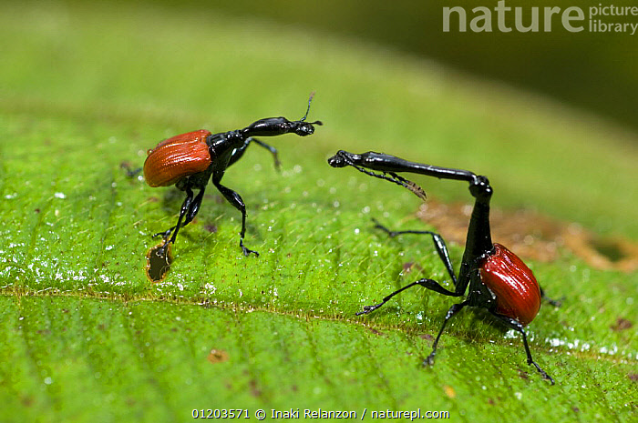 Male (right) and female Giraffe necked weevils (Trachelophorus giraffa) on leaf, Ranomafana National Park, Madagascar, AFRICA,BEETLES,COLEOPTERA,INSECTS,INVERTEBRATES,MADAGASCAR,MALE FEMALE PAIR,NATIONAL PARK,NECKS,RESERVE,WEEVILS,Catalogue1, Inaki Relanzon