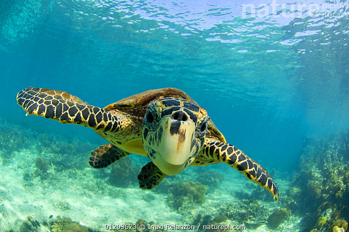 Hawksbill turtle (Eretmochelys imbricata) swimming underwater, Nosy Be, North Madagascar.  ,  AFRICA,BEHAVIOUR,BLUE,ENDANGERED,MADAGASCAR,MARINE,PORTRAITS,REPTILES,SEA TURTLES,TROPICAL,TURTLES, Turtles, Turtles, Turtles, Turtles, Turtles, Turtles,Catalogue1  ,  Inaki Relanzon