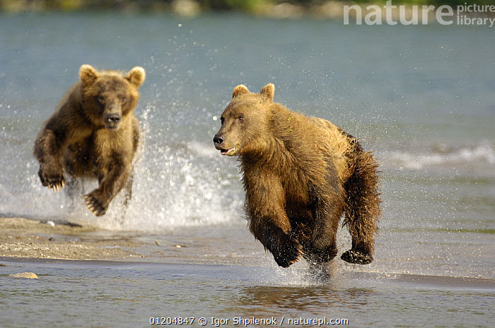 Kamchatka brown bear (Ursus arctos beringianus)  chasing each other beside water, Kronotsky Nature Reserve, Kamchatka, Far East Russia, ACTION,ASIA,BEARS,BEHAVIOUR,CARNIVORES,MAMMALS,PLAY,PLAYING,RESERVE,RIVERS,RUNNING,RUSSIA,VERTEBRATES,Communication,CIS,Catalogue1G, Igor Shpilenok