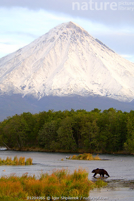Kamchatka brown bear (Ursus arctos beringianus)  fishing for salmon in the Kronotskaya River at the foot of the Kronotsky Volcano, covered with a fresh coat of snow in September, Kronotsky Zapovednik, Kamchatka, Far East Russia, ASIA,AUTUMN,BEARS,CARNIVORES,LANDSCAPES,MAMMALS,RIVERS,RUSSIA,VERTEBRATES,VERTICAL,VOLCANOES,Geology,CIS,Catalogue1G, Igor Shpilenok