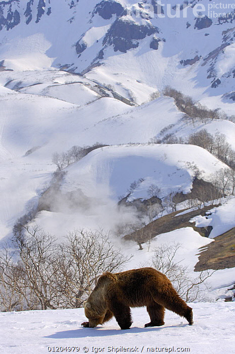 Kamchatka brown bear (Ursus arctos beringianus) male sniffing the tracks of a female in snow, Kronotsky Zapovednik, Kamchatka, Far East Russia, ASIA,BEARS,CARNIVORES,LANDSCAPES,MAMMALS,MATING BEHAVIOUR,RUSSIA,VERTEBRATES,VERTICAL,WINTER,Reproduction,Catalogue1G, Igor Shpilenok