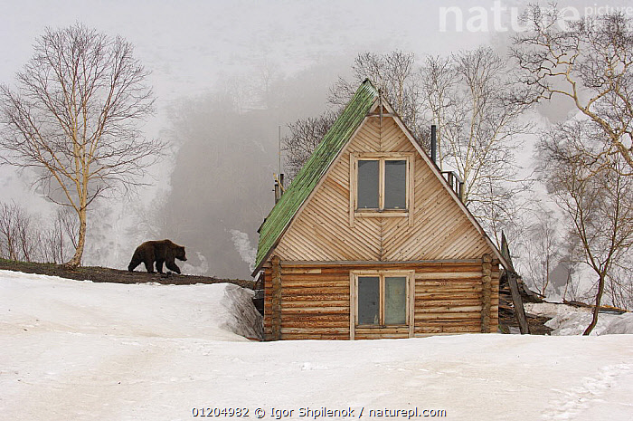 Kamchatka brown bear (Ursus arctos beringianus) near photographer's wooden cabin, Valley of the Geysers, Kronotsky Zapovednik, Kamchatka, Far East Russia, ASIA,BEARS,BUILDINGS,CARNIVORES,house, homes, cabins, houses,LANDSCAPES,MAMMALS,RUSSIA,SNOW,VERTEBRATES,Catalogue1G, Igor Shpilenok