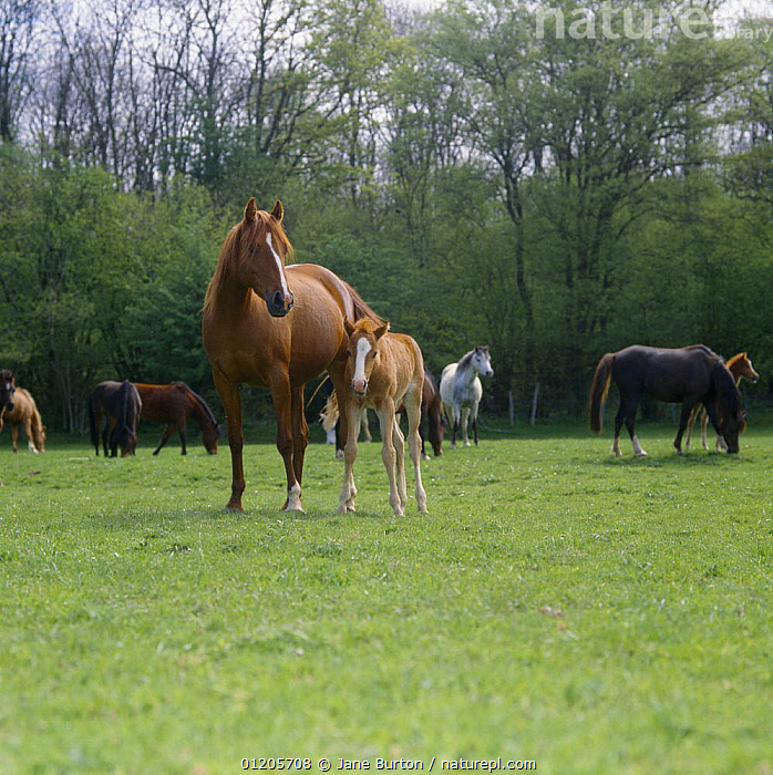 Nature Picture Library - British show pony chestnut mare and
