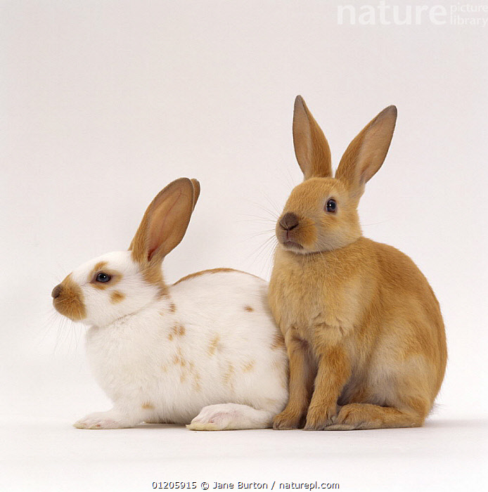 Fawn spotted and Sooty fawn rabbits, young siblings, eight-weeks, CUTOUT,JUVENILE,MAMMALS,Oryctolagus,PETS,RABBITS,SITTING,Studio,two,UK,Europe,United Kingdom,British,Lagomorphs, Jane Burton