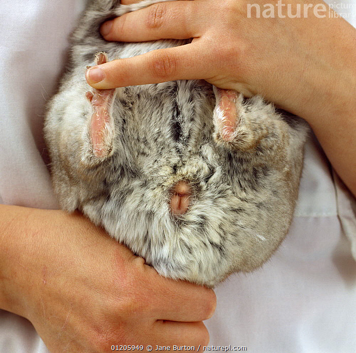 Were not how to tell the sex of a chinchilla excellent