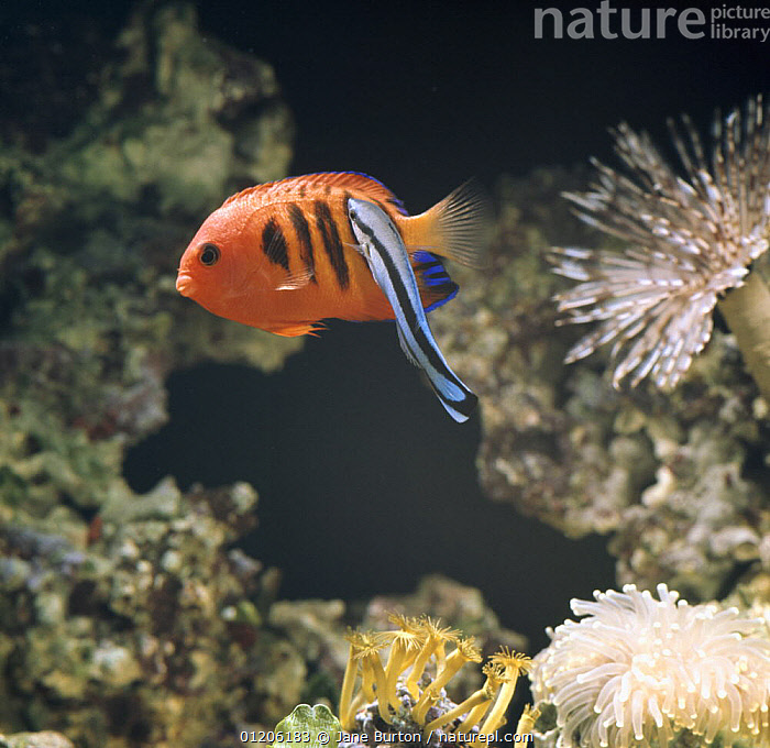 Cleaner wrasse {Labroides dimidiatus} cleaning Flame dwarf angelfish {Centropyge loriculus} captive  ,  BEHAVIOUR,CORAL REEFS,FISH,MARINE,MIXED SPECIES,OSTEICHTHYES,SYMBIOSIS,TROPICAL,UNDERWATER,VERTEBRATES,WRASSE,Concepts,Partnership  ,  Jane Burton