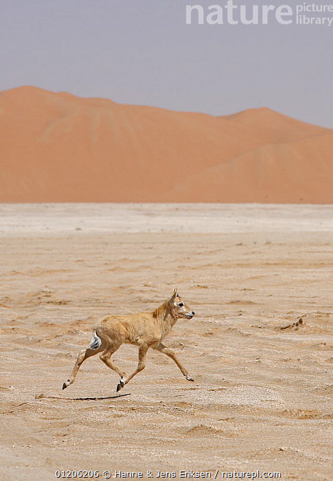 Arabian oryx {Oryx leucoryx} calf being released into the wild after captivity, Abu Dhabi, ARABIA,ARTIODACTYLA,BABIES,CONSERVATION,CUTE,DESERTS,ENDANGERED,MAMMALS,MIDDLE EAST,ORYXES,REHABILITATION,RUNNING,SAND DUNES,VERTEBRATES,VERTICAL,VULNERABLE,Catalogue1, Hanne & Jens Eriksen