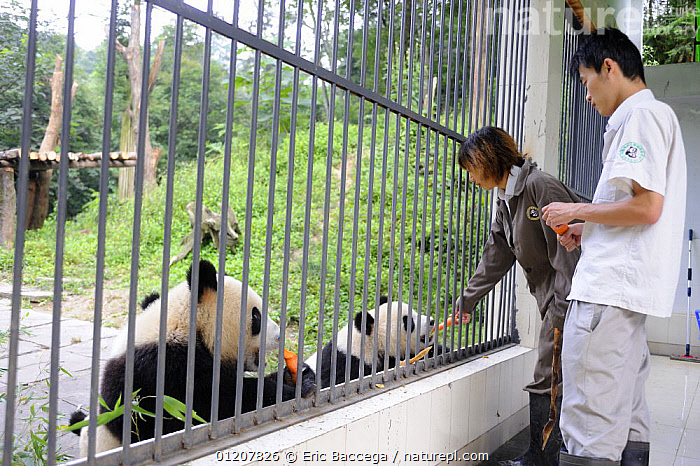 Tourist with giant panda at Bifengxia Giant Panda Breeding and Conservation Center,Yaan, Sichuan, China (Ailuropoda melanoleuca), ASIA,BEAR,BEARS,CAGE,CAPTIVE,CARNIVORES,CHINESE,ENDANGERED,MAMMALS,PANDAS,PEOPLE,SANCTUARIES,SANCTUARY,TOURISM,VERTEBRATES, Eric Baccega