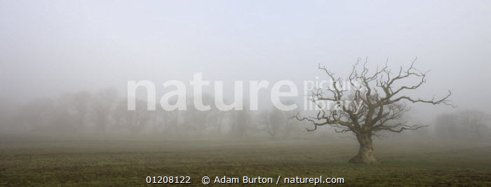 Gnarled decidous tree silhouetted in a misty field, Winkleigh, Devon, England, ATMOSPHERIC,EUROPE,LANDSCAPES,MIST,PANORAMIC,SILHOUETTES,TREES,UK,WINTER,United Kingdom,Plants,British,ENGLAND, Adam Burton