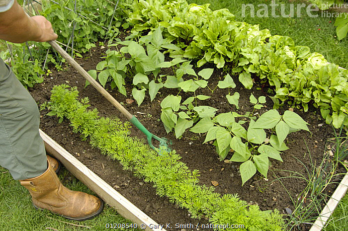 Gardener using a hand hoe to till soil between carrots, 'Nanco' variety, and French Beans, 'Pongo' variety, in a small raised bed vegetable plot, UK, August  ,  EUROPE,FLOWERS,GARDENING,GARDENS,PEOPLE,PLANTS,UK,VEGETABLE GARDEN,VEGETABLES,United Kingdom,British,ENGLAND  ,  Gary K. Smith