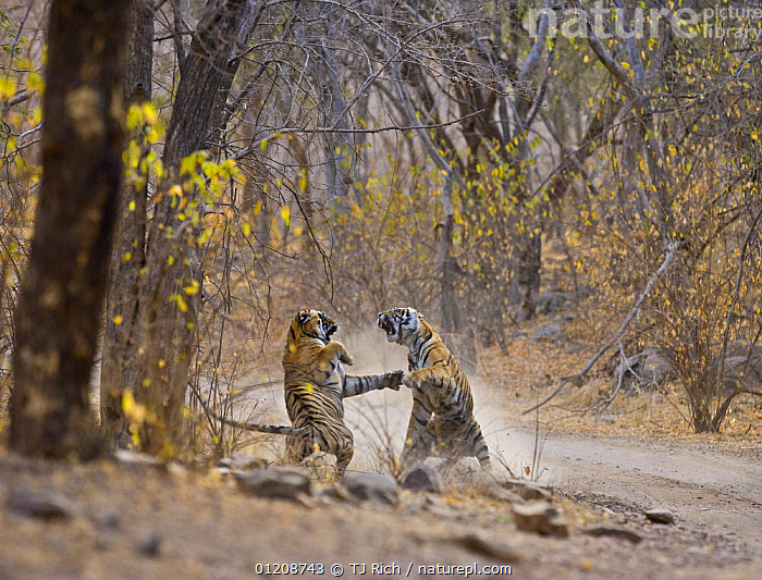 Bengal Tiger (Panthera tigris tigris) mother and adolescent daughter fighting, Ranthambhore NP, Rajasthan, India  ,  ADULT,ASIA,BEHAVIOUR,BIG CATS,CARNIVORES,ENDANGERED,FAMILIES,FIGHTING,INDIAN SUBCONTINENT,JUVENILE,MAMMALS,NP,RESERVE,ROADS,TIGERS,Aggression,National Park,Concepts  ,  TJ Rich