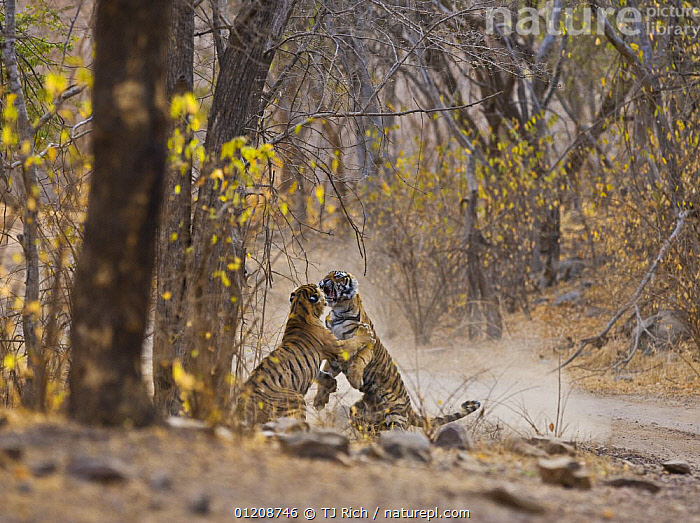 Bengal Tiger (Panthera tigris tigris) mother and adolescent daughter fighting beside road. Ranthambhore NP, Rajasthan, India  ,  ADULT,ASIA,BEHAVIOUR,BIG CATS,CARNIVORES,ENDANGERED,FAMILIES,FIGHTING,INDIAN SUBCONTINENT,JUVENILE,MAMMALS,NP,RESERVE,ROADS,TIGERS,Aggression,National Park,Concepts  ,  TJ Rich