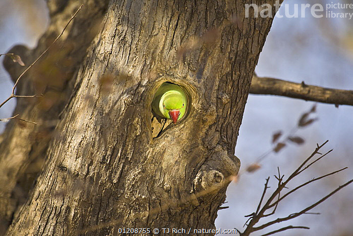 Ring-necked / Rose-ringed Parakeet (Psittacula krameri) peeping out of nesting hole in tree, Ranthambhore NP, Rajasthan, India  ,  ASIA,BEHAVIOUR,BIRDS,HEADS,INDIAN SUBCONTINENT,NESTS,PARAKEETS,PARROTS,PORTRAITS,RAJASTHAN,TREES,VERTEBRATES,Plants  ,  TJ Rich