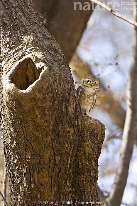 Spotted Owl (Athene brama) perched outside nest hole, Ranthambhore NP, Rajasthan, India  ,  ASIA,BIRDS,BIRDS OF PREY,INDIAN SUBCONTINENT,NESTS,OWLS,PORTRAITS,VERTEBRATES,VERTICAL  ,  TJ Rich